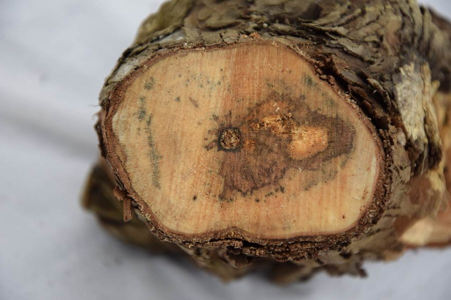 Bolesti drva vinove loze