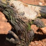 FOTOGRAFIJE: Simptomi bolesti drva vinove loze