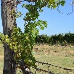 Folijarni simptomi karakteristicni za eutipozu vinove loze. Autor: Kristina Diklic