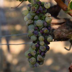 Simptomi eske na grozdovu sorte Malvazija istarska. Autor: Kristina Diklic