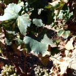 Síntomas de EMV en hojas, pámpano y racimos