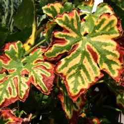 Typisches Tigerstreifenmuster auf den Blättern der an Esca erkrankten Rebstöcke.