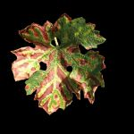 Eska vinove loze - fitopatološki problem koji ostaje