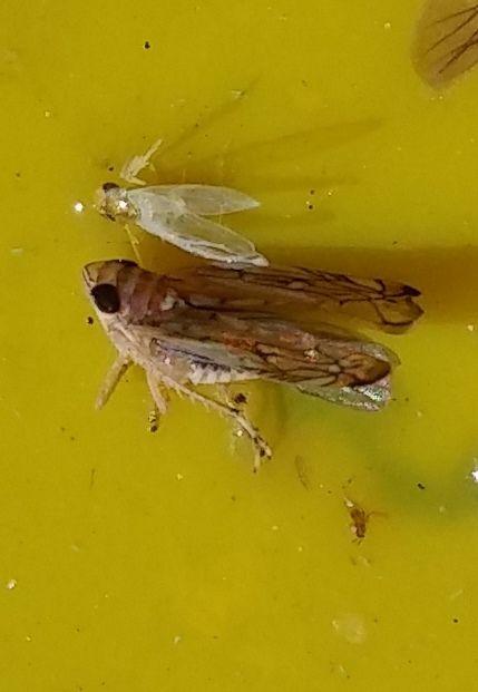 Odrasli oblik američkog cvrčka na žutoj ljepljivoj ploči