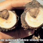 Prepoznavanje bolesti vinove loze tijekom zime i rezidbe