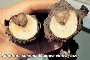 Simptomi sušenja krakova vinove loze (autor T. Miličević)