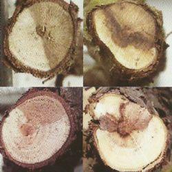 Simptomi botriosferijskog sušenja na presjecima krakova vinove loze (autor J. Kaliterna)