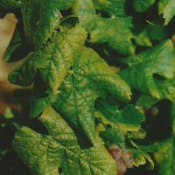 Žućenje listova i propadanje grozdova - simptomi žutice vinove loze uzrokovane fitoplazmama na sorti Chardonnay (autor B.Kozina)