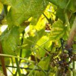 Fitoplazmoze vinove loze