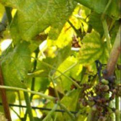 Sušenje grozda uzrokovano fitoplazmom (autor - Kozina i sur., 2008)
