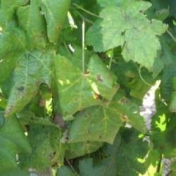 Simptomi zlatne žutice vinove loze (autor J. Plavec)