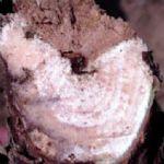 Pojava fitopatogene gljive Eutypa lata, uzročnika rak rana i sušenja krakova (eutipoze) vinove loze