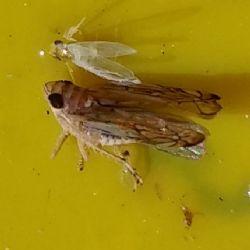 Odrasli oblik američkog cvrčka na žutoj ljepljivoj ploči (Autor slike - Kristina Diklić)