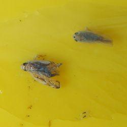 Az amerikai szolokabóca (Scaphoideus titanus) és a Phlogotettix cyclops nevu kabócafaj megkülönböztetése