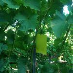 Učinkovitost bioloških insekticida u suzbijanju američkog cvrčka i popratni učinak na korisne organizme