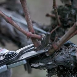 Double pruning method - final pruning is showed (photo credit - Jordan Vineyard and Winery)