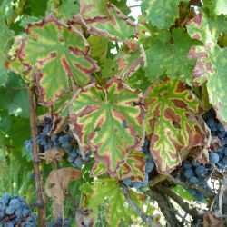 Grapevine trunk diseases a review