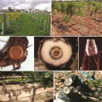 Fungal trunk pathogens in the grapevine propagation process-potential inoculum sources, detection, identification, management (GTD)