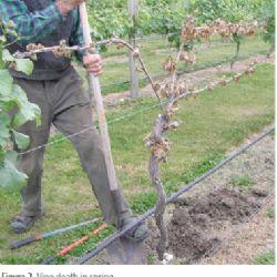 Botryosphaeria dieback in grapevine nurseries (GTD)