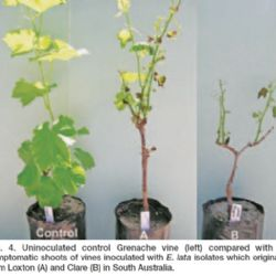 A rapid method of screening grapevine cultivars for susceptibility to eutypa dieback