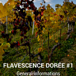 Video Clip - Flavescence Dorée – Allgemeine Informationen