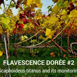 Video Clip - Flavescence Dorée #2 - Scaphoideus titanus and its monitoring