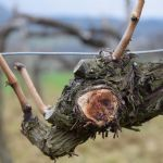 Sušenje trsova vinove loze