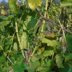 Zlatna žutica vinove loze - Flavescence dorée