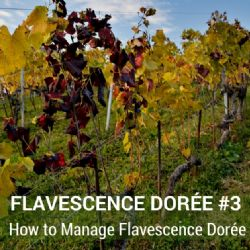 Video Clip - Flavescence Dorée #3 - How to manage FD