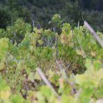 Naš najveći problem su zapušteni vinogradi (2)