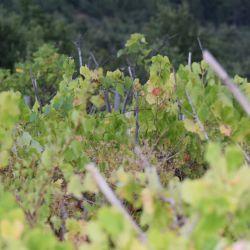 Zapušten vinograd (Autor Kristina Grozić, 2017)