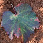 Nove spoznaje u zaštiti vinograda od zlatne žutice i bolesti drva vinove loze