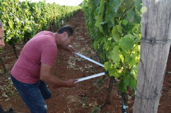 Uz zlatnu žuticu, vinogradima i maslinama prijete i druge pošasti