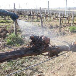 Trichoderma fajok alkalmazása a szőlő tőkebetegségek (Grapevine Trunk Diseases, GTDs) elleni védekezésben Európában