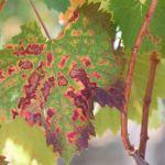 Koju bolest drva vinogradari slabo prepoznaju