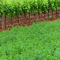 Zatravljivanje djetelinskim vrstama može utjecati na distribuciju licinki americkog cvrcka unutar vinograda, a prilikom provodenja pracenja licinki preporuka je provijeriti distribuciju americkog cvrcka i na navedenim vrstama (autor K. Grozic, 2016)