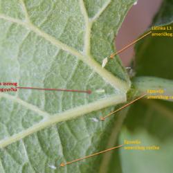 Na fotografiji su prikazane licinke americkog cvrcka i lozinog zelenog cvrcka, egzuvija americkog cvrcka (autor Kristina Grozic, 2017)