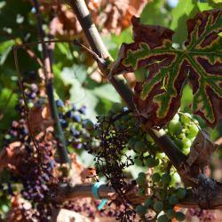 Simptomi 'tigrastog lišca' i sušenja grozdova - eska (K. Grozic, 2017)