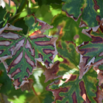 1# Suzbijanje bolesti drva vinove loze