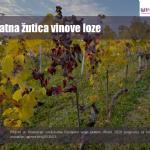 4#  Zlatna žutica vinove loze