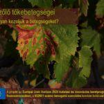 A szőlő tőkebetegésgei (GTDs) - #2 szekció