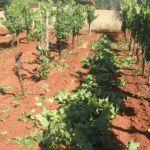Suzbijanje zlatne žutice vinove loze: smanjenje šteta i sprječavanje širenja zaraze